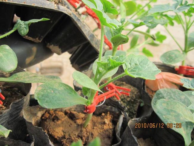 Grafted watermelon seedling